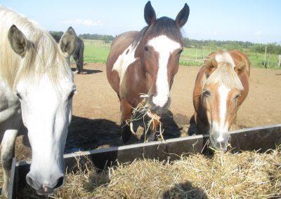 Gelukkige paarden eten hooi