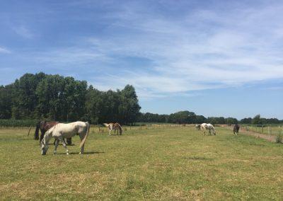 20-Paardenkamp-jongeren-paarden-in-de-wei